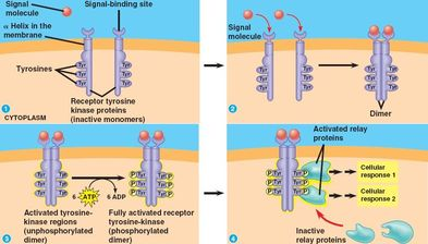 Explain how rec... G Protein Coupled Receptors Pathway